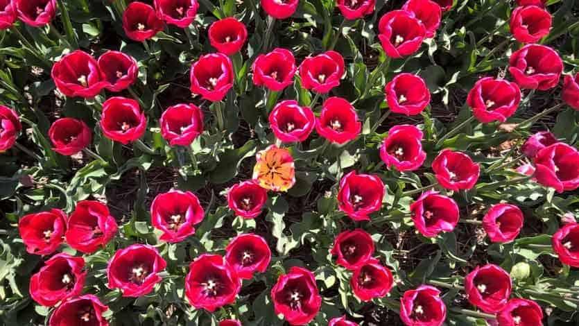 Welche Tulpe ist wirklich besonders?